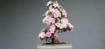 Quanto costa un bonsai? e perché è un buon investimento?
